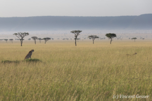 Two Cheetah brothers (Acinonyx jubatus) roaming the savannah, Masai Mara National Reserve, Kenya