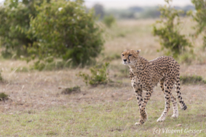 Cheetah (Acinonyx jubatus) walking and observing, Masai Mara National Reserve, Kenya
