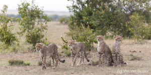 Four young Cheetah (Acinonyx jubatus), Masai Mara National Reserve, Kenya