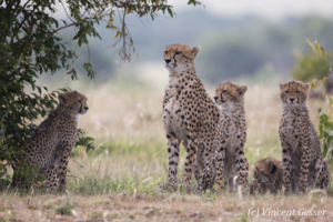 Four young Cheetah (Acinonyx jubatus) and their mother, Masai Mara National Reserve, Kenya, 1