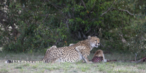 Cheetah (Acinonyx jubatus) eating a Thomson gazelle, Masai Mara National Reserve, Kenya, 3