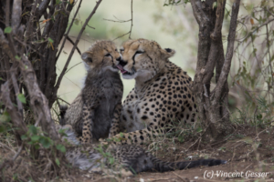 Cheetah (Acinonyx jubatus) mother and cub cuddling, Masai Mara National Reserve, Kenya