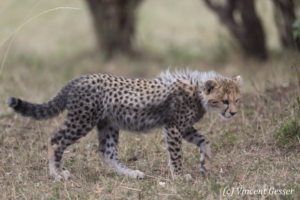 Cheetah (Acinonyx jubatus) cub walking and exploring, Masai Mara National Reserve, Kenya
