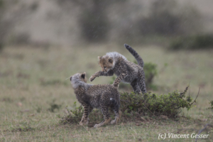 Two Cheetah (Acinonyx jubatus) cubs playing together, Masai Mara National Reserve, Kenya