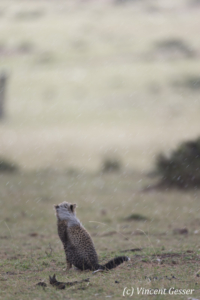 One Cheetah (Acinonyx jubatus) cub alone in the rain, Masai Mara National Reserve, Kenya