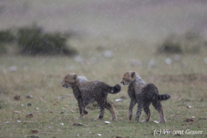Two Cheetah (Acinonyx jubatus) cubs exploring in the rain, Masai Mara National Reserve, Kenya