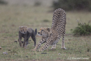Cheetah (Acinonyx jubatus) cub watching its mother stretch, Masai Mara National Reserve, Kenya