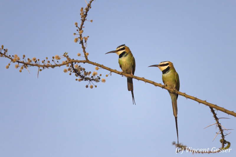 Two White-throated Bee Eaters (Merops albicollis) on a branch, Shompole Sanctuary, Kenya, 1