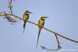 Two White-throated Bee Eaters (Merops albicollis) on a branch, Shompole Sanctuary, Kenya, 2