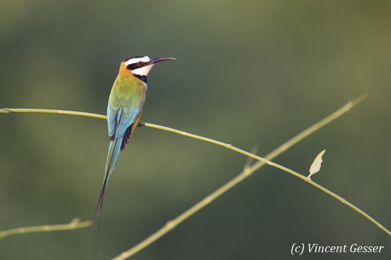 Two White-throated Bee Eaters (Merops albicollis) on a herb, Shompole Sanctuary, Kenya