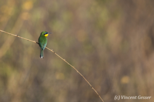 Little bee eater (Merops pusillus) on a branch, Namunyak Wildlife Conservancy, Kenya