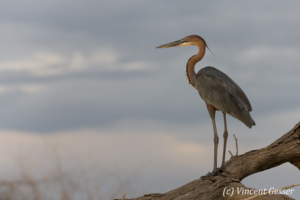 Goliath heron (Ardea goliath) standing on a branch, Lake Baringo