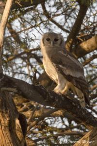 Verreaux's Eagle-Owl (Bubo lacteus) watching hiding in a tree, Namunyak Wildlife Conservancy, Kenya