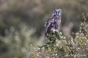 Verreaux's Eagle-Owl (Bubo lacteus) watching hiding in a tree, Masai Mara National Reserve, Kenya