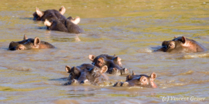Group of Hippopotamus (Hippopotamus amphibius) deep in the water of Masai Mara National Reserve, Kenya