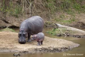 Hippopotamus (Hippopotamus amphibius) walking with a baby, Masai Mara National Reserve, Kenya