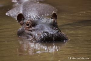 Hippopotamus (Hippopotamus amphibius) coming straight, Meru National Park, Kenya