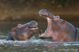 Two young hippopotamus (Hippopotamus amphibius) facing off and playing in hippo pool of Mana Pools NP, Zimbabwe, 2