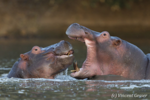 Two young hippopotamus (Hippopotamus amphibius) facing off and playing in hippo pool of Mana Pools NP, Zimbabwe, 3