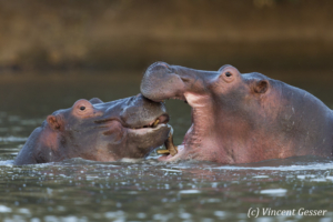 Two young hippopotamus (Hippopotamus amphibius) facing off and playing in hippo pool of Mana Pools NP, Zimbabwe, 4