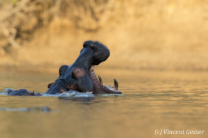 Hippopotamus (Hippopotamus amphibius) yawning at sunsets in hippo pool of Mana Pools NP, Zimbabwe, 4