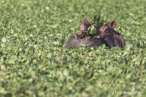 Hippopotamus (Hippopotamus amphibius) in the leaves, Masai Mara National Reserve, Kenya, 2