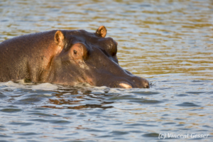 Hippopotamus (Hippopotamus amphibius) in the water, Masai Mara National Reserve, Kenya