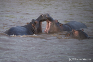 Two Hippopotamus (Hippopotamus amphibius) playfighting in the water, Masai Mara National Reserve, Kenya