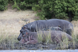 Two Hippopotamus (Hippopotamus amphibius) laying by the water, Chobe National Park, Botswana