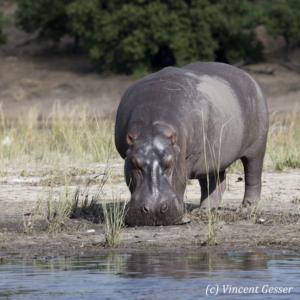 Hippopotamus (Hippopotamus amphibius) standing by the water, Chobe National Park, Botswana