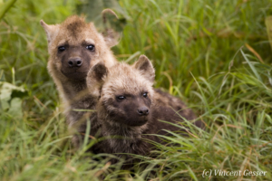 Two Spotted Hyaena (Crocuta crocuta) cubs watching out of their den, Masai Mara National Reserve, Kenya
