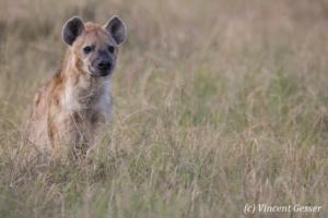 Spotted Hyaena (Crocuta crocuta) observing the plains of Masai Mara National Reserve, Kenya