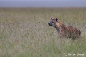 Spotted Hyaena (Crocuta crocuta) watching the plain, Masai Mara National Reserve, Kenya