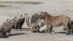 Spotted Hyaena (Crocuta crocuta) eating a carcass, Chobe National Park, Botswana