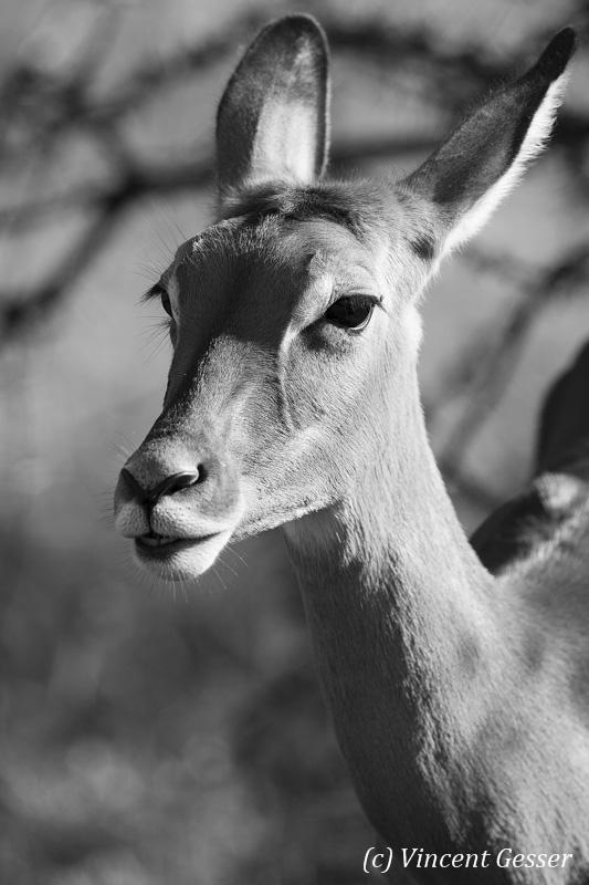 Impala (Aepyceros melampus melampus) female portrait in Black and White, Samburu National Reserve, Kenya