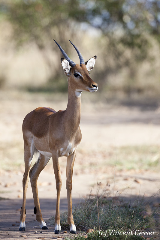 Impala (Aepyceros melampus melampus) young male observing, Masai Mara National Reserve, Kenya