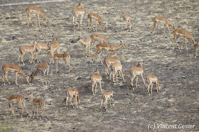 Group of impalas (Aepyceros melampus melampus) grazing, Chobe National Park, Botswana
