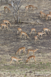 Group of impalas (Aepyceros melampus melampus) grazing, Chobe National Park, Botswana