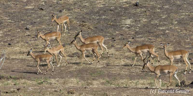 Group of impalas (Aepyceros melampus melampus) walking, Chobe National Park, Botswana