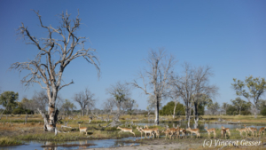 Group of impalas (Aepyceros melampus melampus) jumping the river, Khwai Concession, Botswana