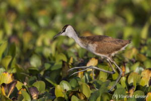 Juveline African Jacana (Actophilornis africanus) walking on leaves, Lake Kariba, Zimbabwe