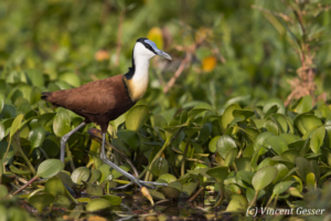 Adult African Jacana (Actophilornis africanus) walking on leaves, Lake Kariba, Zimbabwe, 1