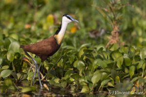 Adult African Jacana (Actophilornis africanus) walking on leaves, Lake Kariba, Zimbabwe, 2