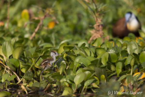 African Jacana chick (Actophilornis africanus) walking on leaves, Lake Kariba, Zimbabwe