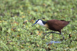 Adult African Jacana (Actophilornis africanus) walking on leaves, Masai Mara National Reserve, Kenya