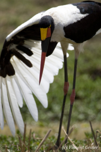 Saddle billed stork and her wing