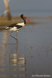 Saddle Billed Stork (Ephippiorhynchus senegalensis) walking on shore of Lake Kariba, Zimbabwe, 1