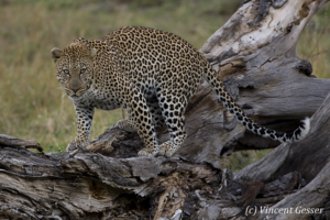 Leopard (Panthera pardus) on fallen tree, Masai Mara National Reserve, Kenya, 1
