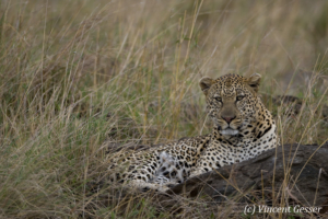 Leopard (Panthera pardus) laying in grass, Masai Mara National Reserve, Kenya
