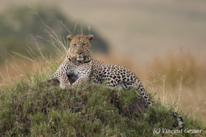 Leopard (Panthera pardus) on termite mound, Masai Mara National Reserve, Kenya, 1